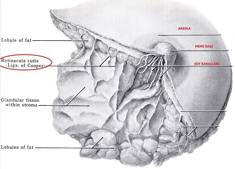meme cooper bağları ligamentleri